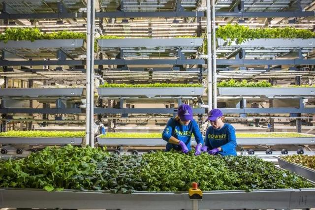 无需化肥农药,365天都能收获,科技正在把菜园子搬进城市